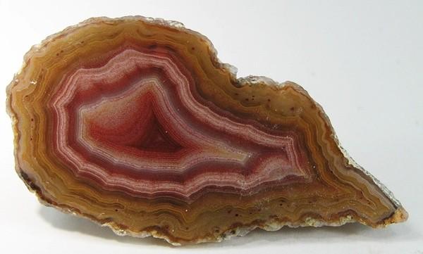 calceodonio-rosso